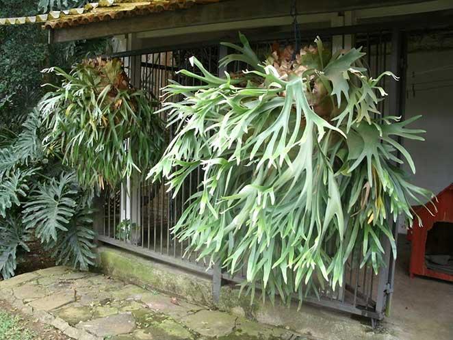 plantas em apartamento com animais chifre de veado