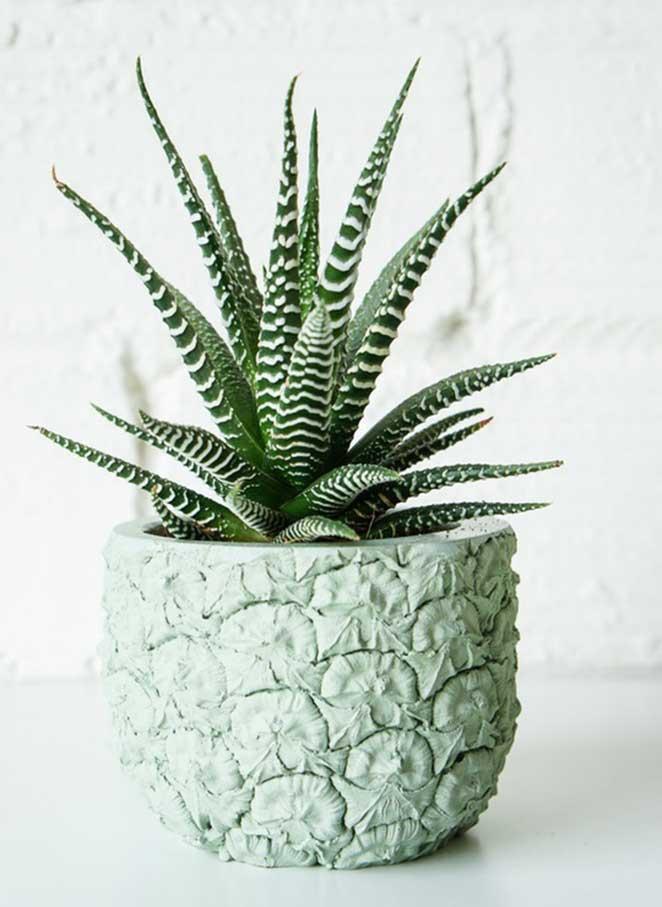 plantas-em-apartamento-com-animais-haworthia-fasciata