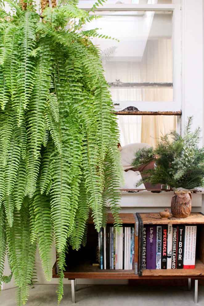 plantas-em-apartamento-com-animais-samambaia-de-boston-sala