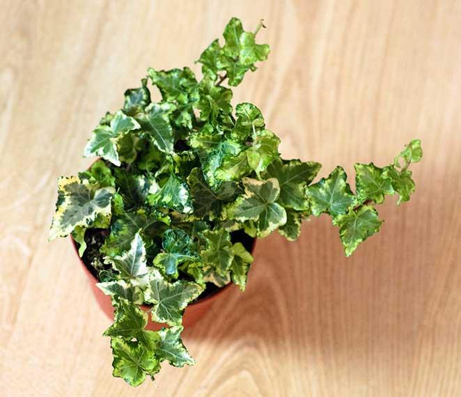 5-plantas-faceis-de-cuidar-para-voce-ter-em-casa-hera-variegata-3