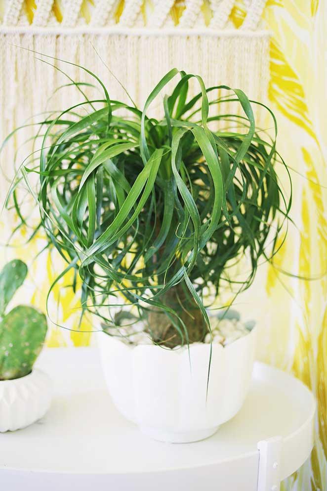 5-plantas-faceis-de-cuidar-para-voce-ter-em-casa-pata-de-elefante-1
