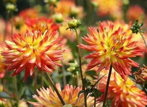 flor dália